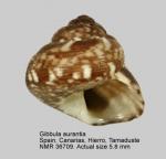Gibbula aurantia