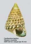 Strigosella lepida