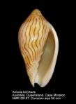 Amoria benthalis