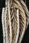 Florometra goughi Paratype BMNH 1939.5.13.5 mid-arms