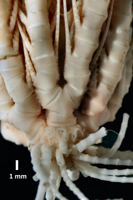 Antedon (=Florometra) mariae Holotype USNM 22608 lateral view closeup