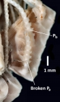 Antedon (=Florometra) mariae Holotype USNM 22608 Proximal interior pinnules