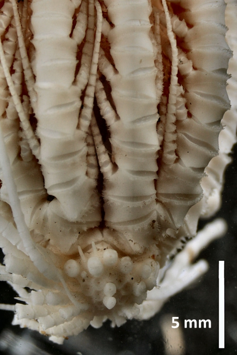 Antedon (=Florometra) serratissima Holotype USNM 22612 centrodorsal and ray bases