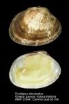 Veneridae