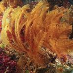 Sertularia unguiculata; Australia, Victoria, Popes Eye Reef, 10m; photo Jan Watson
