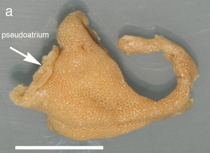 Ascaltis angusta Van Soest & De Voogd, 2015