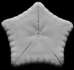 Holotype Apollonaster kelleyi