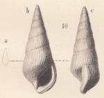 Zebinella planicosta (Von Koenen, 1892)