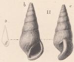 Zebinella geikiei (Von Koenen, 1892)