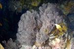 Clathrozoon wilsoni, Australia, outside Port Phillip Heads, 13 m deep;  photo J. Watson