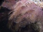 Stereotheca elongata, Australia, Popes Eye reef, near Port Phillip Heads, 2 m deep; photo J. Watson