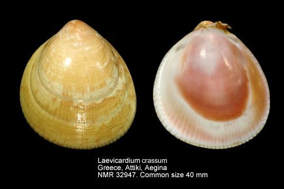 Laevicardium crassum