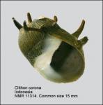 Clithon corona
