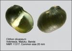 Clithon olivaceum