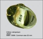 Clithon retropictum