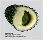 Nerita exuvia
