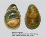 Neritina violacea