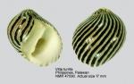 Neritina turrita