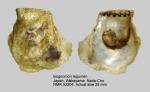 Isognomon legumen