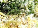 Clinitrachus argentatus