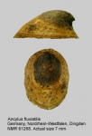 Planorbidae