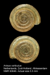 Anisus vorticulus