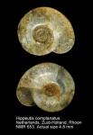 Hippeutis complanatus
