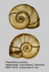 Planorbarius corneus