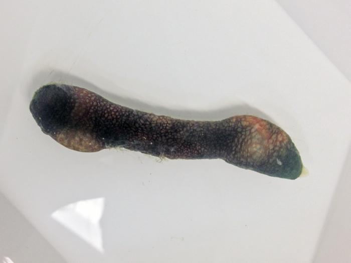 Hamingia arctica (Echiuran worm)
