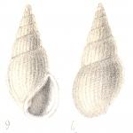 Rissoina mohrensterni Deshayes, 1863