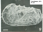 Holotype of <i>Abyssocythere pannucea</i> Benson, 1971: Pl. 2.9