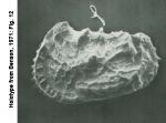 Ostracoda (seed shrimp)