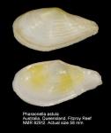 Tellina astula