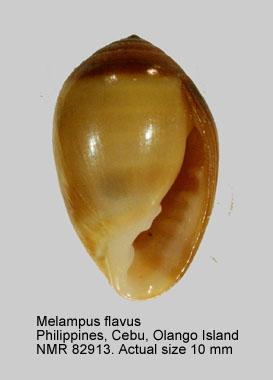 Melampus flavus