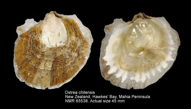 Ostrea chilensis