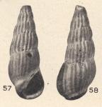 Rissoina semari Beets, 1941