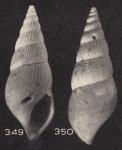 Zebinella fragileplicata (Beets, 1941)