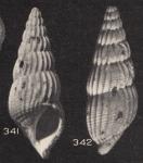 Rissoina ramai Beets, 1941