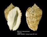 Morum macandrewi