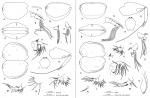 Archiconchoecia (Archiconchoecia) striata G.W. Müller, 1894