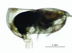 Alacia leptothrix (G.W. Müller, 1906)