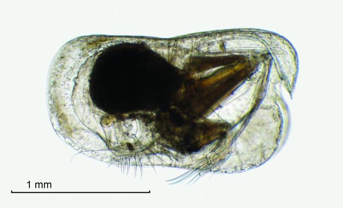 Conchoecia macrocheira G.W. Müller, 1906