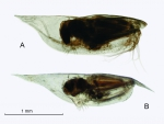 Conchoecilla daphnoides Claus, 1890