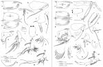 Conchoecissa imbricata (Brady, 1880)