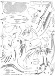 Conchoecissa plinthina (G.W. Müller, 1906)