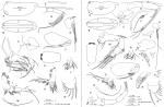Discoconchoecia aff. elegans (Sars, 1865)
