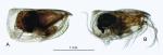Loricoecia loricata (Claus, 1894)