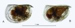 Mikroconchoecia curta s.l. (Lubbock, 1860)