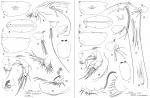 Orthoconchoecia atlantica (Lubbock, 1856)