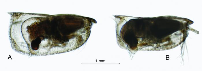 Orthoconchoecia striola s.s. (G.W. Müller, 1906)